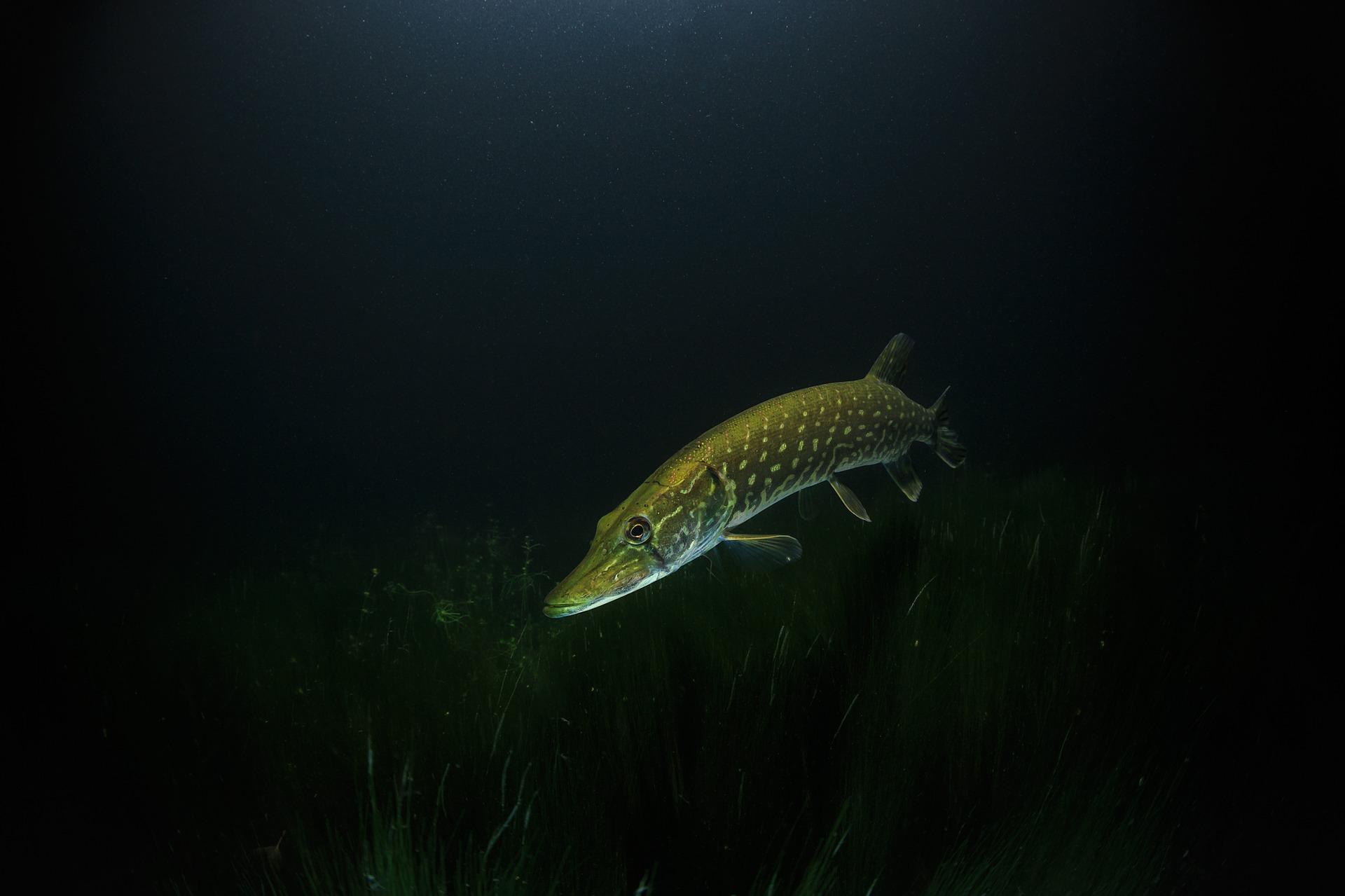 Pesca de lucios en verano